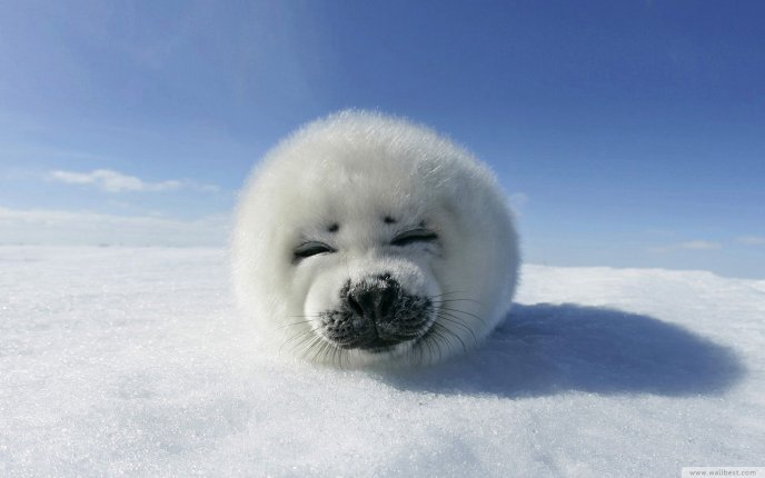 3835_One-small-and-fluffy-baby-seal-HD-wallpaper